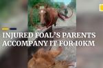 Video: Ngựa bố, ngựa mẹ sốt sắng chạy theo xe chở ngựa con đi viện