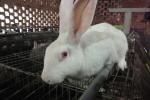 Bắt được con thỏ trắng bị lạc, người phụ nữ ở Đắk Lắk thu cả trăm triệu đồng mỗi năm