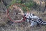 Xác ngựa vằn nổ tung, phun máu xối xả khiến báo đốm khiếp vía