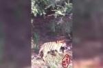 Hổ cái bị 7 con hổ cùng đàn tấn công, xé xác ngay trong công viên
