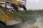 Nông dân Trung Quốc bắt lợn nhảy cầu, tập bơi để... giữ dáng