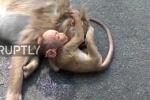 Rơi nước mắt khi thấy khỉ con đau buồn ôm xác mẹ qua đời vì xe cán