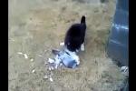 Bồ câu tinh ranh giả chết, thoát vuốt mèo ngoạn mục