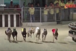 Video: Đột nhập trường đua chó độc nhất vô nhị ở Việt Nam