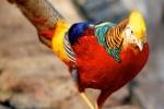 Video: Chiêm ngưỡng đàn chim trĩ 7 màu quý hiếm, giá đắt 'hốt hoảng' ở Hải Dương