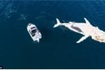 Video: Cá voi khổng lồ làm mồi cho đàn cá mập