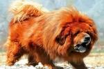 Chó ngao Tây Tạng cắn chết người ở Hà Nội: Ca sĩ Thái Thùy Linh đau xót gọi đó là con quái vật