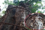 Hà Nội hướng dẫn người dân khai thác cây sưa trăm tỷ đồng
