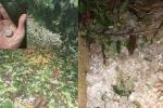 Hai trận mưa đá liên tiếp phá tan hoang vườn mận ở Sơn La