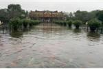 Video: Cá rồng tung tăng bơi lội cùng đàn cá vàng ở sân Đại nội Huế
