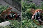 Hổ sổng chuồng, lao ra cắn xé nữ nhân viên sở thú trước mặt du khách