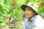 Kỳ lạ cây ổi cho ra cả ổi tứ quý Việt Nam và ổi tím Malaysia