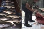 Mổ bụng cá mập trắng, đau lòng khi thấy 14 cá mập con bên trong
