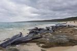 Hàng trăm cá voi trôi dạt, mắc cạn thu hút cá mập đến bờ biển Australia