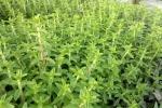 Rau ngổ: Loại rau thơm chữa 'bách bệnh' không phải ai cũng biết