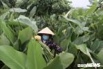 Ảnh: Nông dân Hà Nội thu hoạch lá dong bán Tết, kiếm tiền triệu mỗi ngày