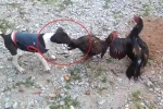 Chết cười clip gà đại chiến, chó nhảy vào can ngăn ở Thái Lan