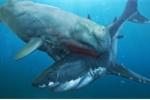 'Thủy quái' Livyatan - kình địch của Megalodon dưới đáy đại dương