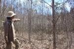 10.000 hecta rừng ở Quảng Ngãi bị chết khô