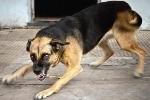 Chó lên cơn dại tấn công 2 người ở Cà Mau