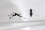 Phát hiện muỗi vằn Việt Nam chứa virus Zika