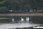 Lý do một con thiên nga ở hồ Thiền Quang 'mất tích'