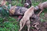 Cho chó săn và lợn rừng tử chiến: Thú chơi man rợ giữa Hà Nội