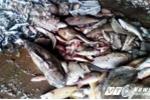 Cá chết hàng loạt: Ăn cá nhiễm độc, nặng có thể tử vong
