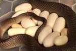 Clip: Kinh hãi phát hiện rắn độc ấp 15 quả trứng dưới gầm tủ lạnh