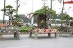 Ngắm bộ cây sanh Tam Đa Phúc - Lộc - Thọ giá 30 tỷ đồng ở Hà Nội