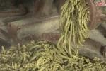 Tận mắt xem nông dân Hưng Yên nuôi lợn bằng thảo dược kiếm bộn tiền