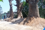 Lo cây chết, chủ 3 cây đa 'khủng' trồng cây tại Huế dù chưa xin phép chính quyền