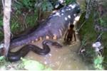 Chuyện ly kỳ về rắn khổng lồ nặng 300 - 400 kg chặn đầu xe khách ở An Giang