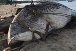 Dân Bình Thuận chôn cất xác cá voi nặng gần 15 tấn