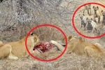 Clip: Sư tử bị linh cẩu đánh hội đồng, cướp mồi trắng trợn