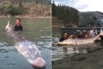 Ngư dân vật lộn bắt 'thủy quái' mõm lợn dài hơn 3m, nặng gần 300kg