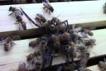 Nhện 'khủng' rình rập tổ ong mật và cái kết thê thảm