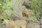 Clip: Thấy con bị ăn thịt, trâu mẹ nổi điên đuổi đánh 14 sư tử