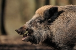 Video: Lợn rừng tưởng đã chết chồm dậy trong xe khiến thợ săn hoảng sợ