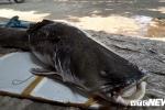 Ngư dân Đắk Lắk câu được cá lăng 'khủng' nặng gần 1 tạ