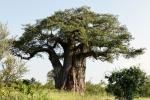 Bí ẩn những cây Baobab nghìn năm chết 'bất đắc kỳ tử'
