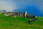 Ảnh: Trăn bị cá sấu nuốt đầu vẫn quấn chặt kẻ thù