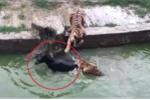 Nhân viên sở thú Trung Quốc ném lừa sống làm mồi cho hổ đói gây sốc