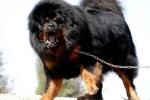Ngao Tây Tạng nổi tiếng hung dữ nhưng vẫn 'lép vế' trước những giống chó này