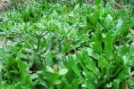 Rau mùi tàu: Dược liệu tuyệt vời từ lá đến hạt
