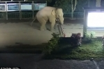 Video: Quá đói, voi Trung Quốc vượt biên tìm thức ăn