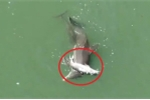Rơi nước mắt clip cá heo mẹ đau buồn mang xác con bơi trên biển