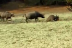 Trâu rừng điên cuồng húc văng sư tử, giải cứu đồng loại