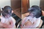 Dân Sơn La đổ xô đi xem con chó đầu khỉ, trên trán có vòi