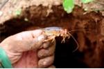 Săn dế cơm dưới lòng đất kiếm 300.000 đồng mỗi ngày ở miền Tây
